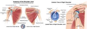shoulder-anatomy-injuries